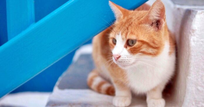 gatto rosso e bianco