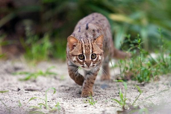 gatto caccia all'aperto