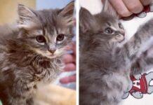 gatto sopravvive intervento chirurgico e viene adottato