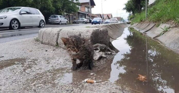 salvataggio gattino vittima attacco corvi