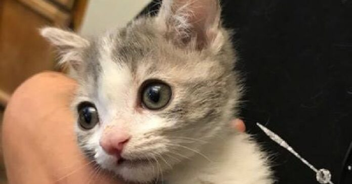 salvataggio gattino emmit viso particolare