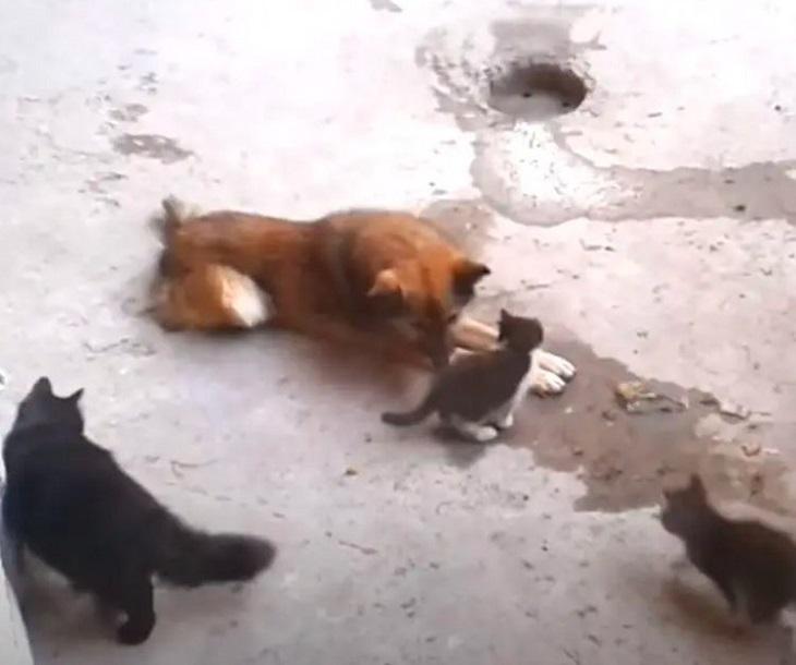 mamma gatta lascia gattini giocare