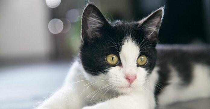 gatto Moo