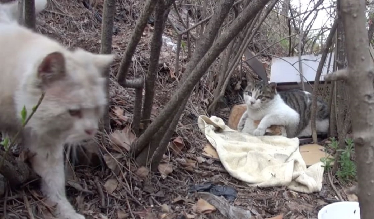 Nabi e Norang gatti