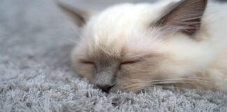 orecchie di un gattino e come igienizzarle