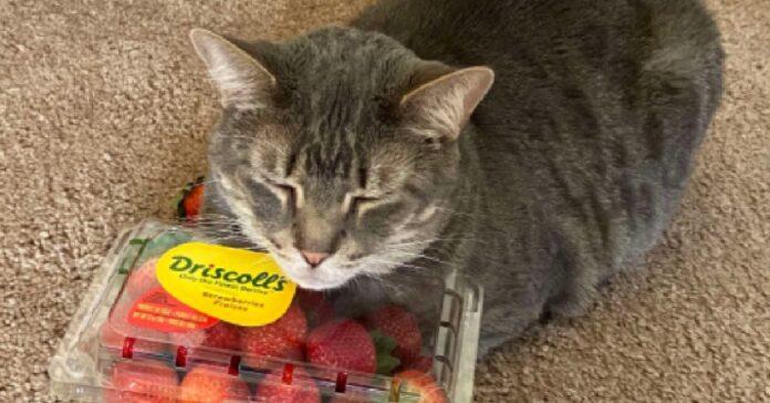 remus gattino ossessionato fragole