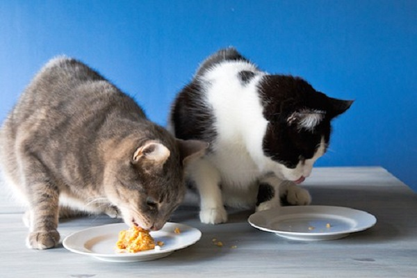 un gatto grigio e uno bianco e nero mangiano pezzi di torta