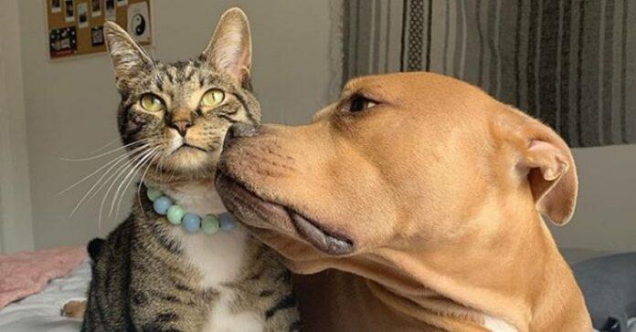 gatto speciale diventa migliore amico pitbull