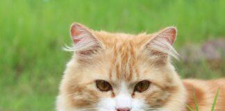 Gatto anziano dolore zampe posteriori: cosa sapere