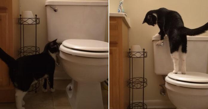 Gatto tira lo sciacquone