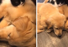 Gattino che dorme con due cuccioli di Golden Retriever