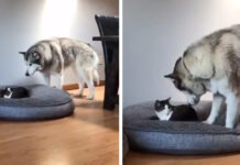 Gattino ha rubato la cuccia all'Husky
