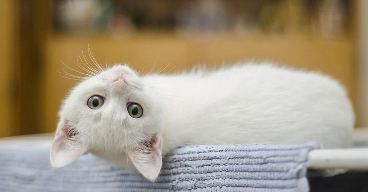 Gatto sdraiato