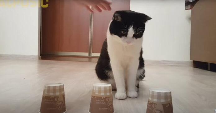 Gatto di fronte a tre bicchieri