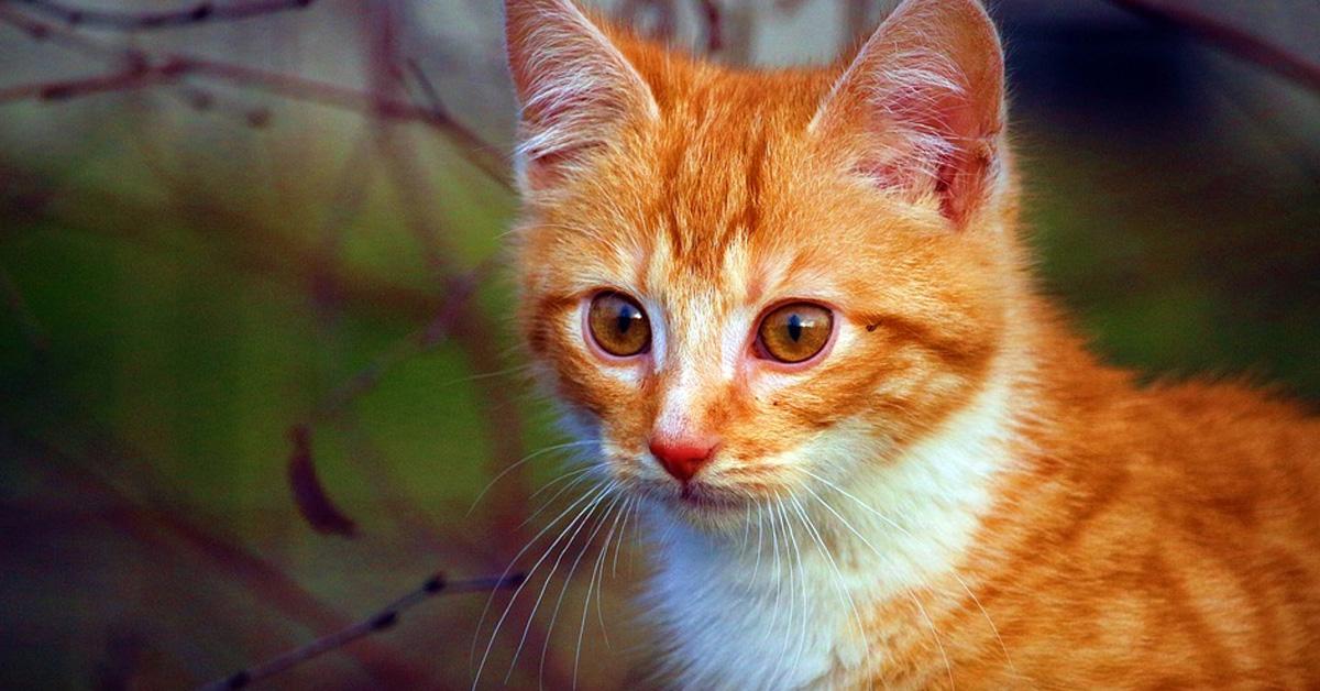 Gato che guarda