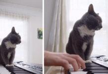 Gatto suona la tastiera