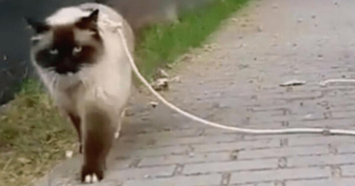 Gattino al guinzaglio