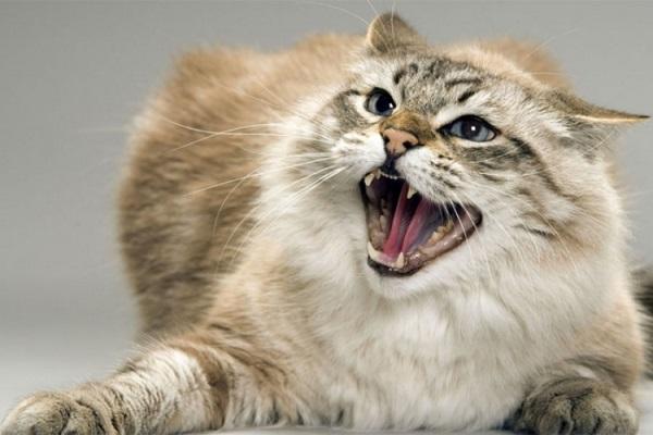 gatto scontroso