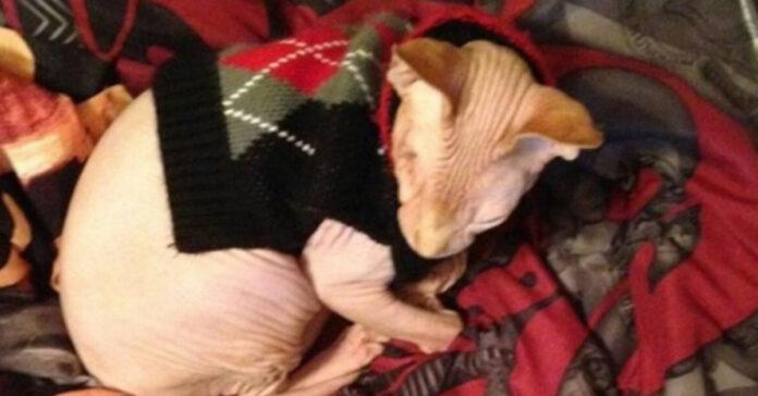 Gattino Sphynx che dorme