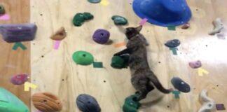gatto che si arrampica
