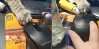 gatto che gioca con il mouse