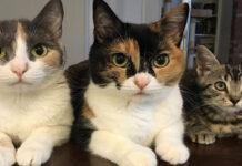 Tre gatti sdraiati che osservano