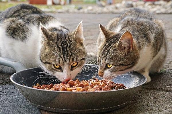 gatti che mangiano dalla stessa ciotola