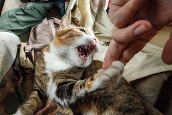 gatto che aggredisce il padrone