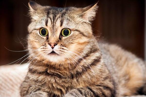 gatto con le pupille dilatate