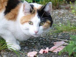 gatto randagio che mangia