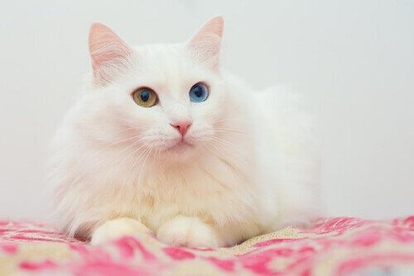 gatto d'angora salute pelo bianco