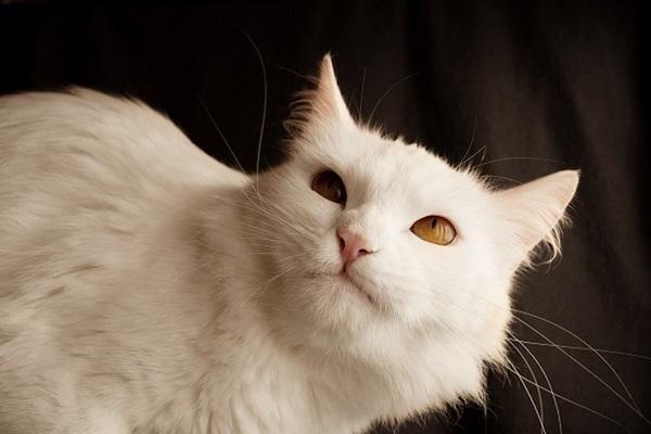 gatto d'angora con occhi profondi