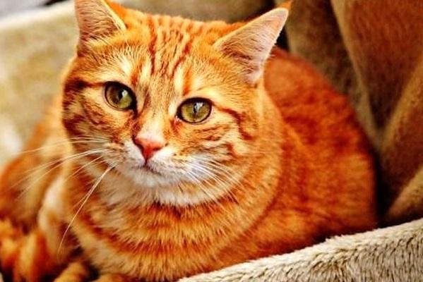 gatto rosso tigrato