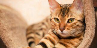 gatto tigrato accucciato su tiragraffi