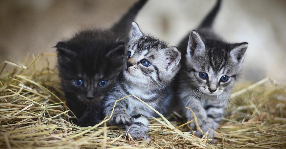 alimentazione gattini