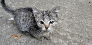 gattino grigio tigrato