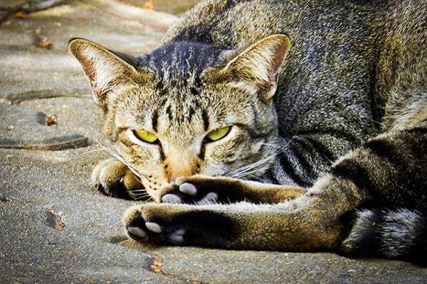 gatto tigrato che han sonno