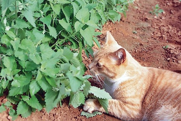 gatto che annusa una pianta