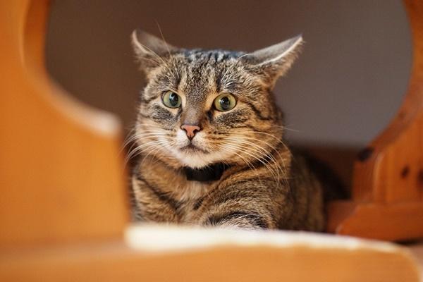 gatto con le orecchie all'indietro