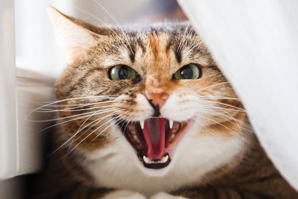 gatto che soffia agli ospiti