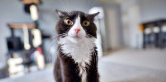 gatto molto stressato