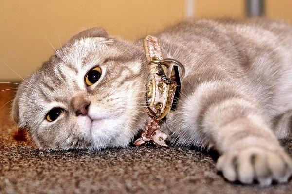 gatto odia il collare