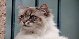 gatto d'angora cucciolo