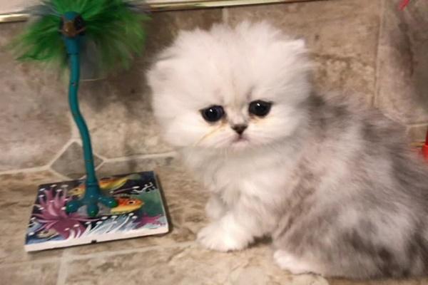 gattino gioca con le piume