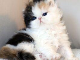 cucciolo di persiano