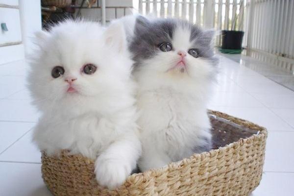 due cuccioli di persiano