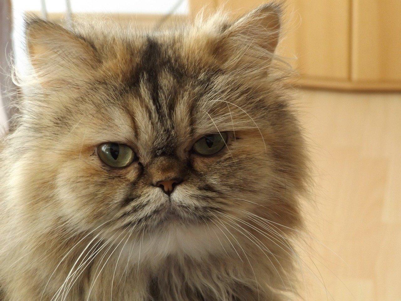 sguardo strano del gatto persiano