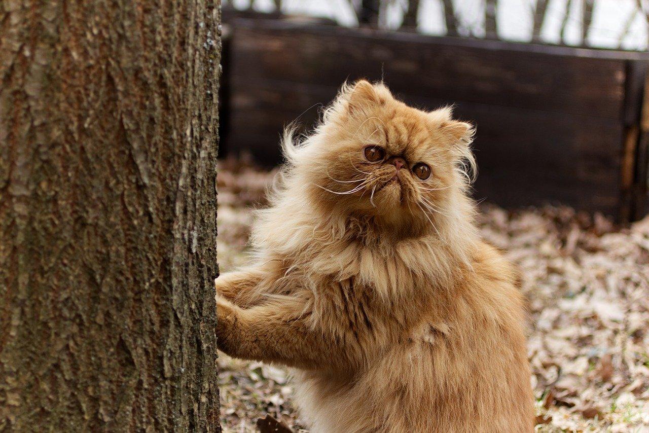 gatto persiano vuole salire su albero