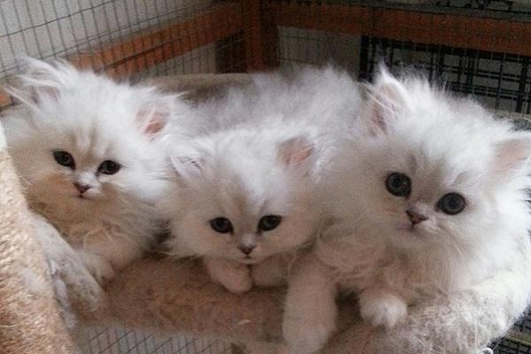 gattini persiani di varietà dollface