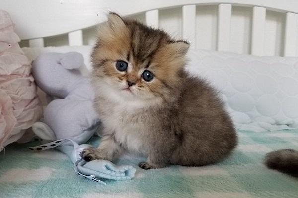 gattino persiano occhi blu